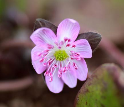 Hepatica nob japonica 'Rosea'