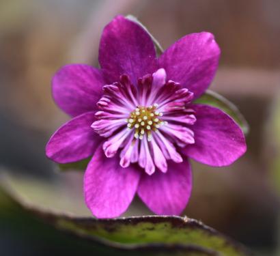 Hepatica nob Japonica 'Violet'