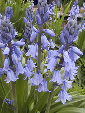 Hyacinthoides hispanica Blauw