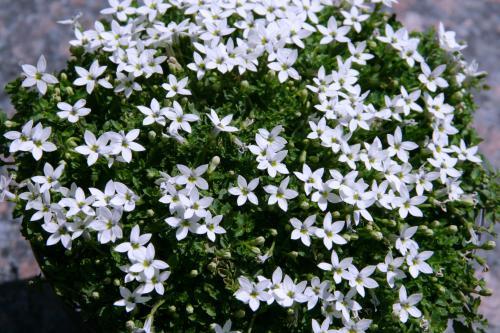 Isotoma 'Combo White Stars'