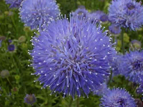 Jasione laevis 'Blue Light'