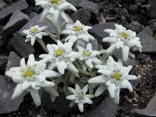 Leontopodium alpinum 'Everest'