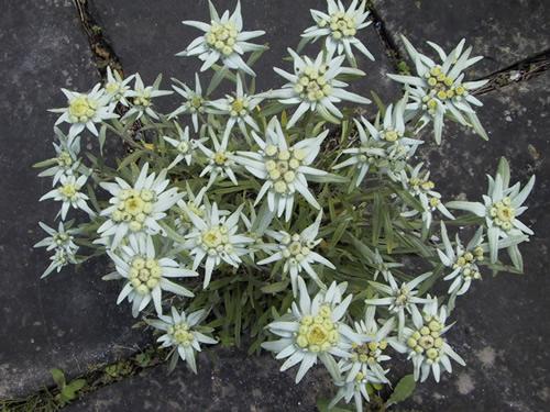 Leontopodium souliei 'Alpina White'