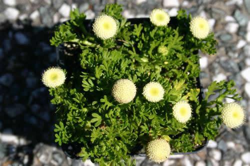 Leptinella  pyrethrifolia