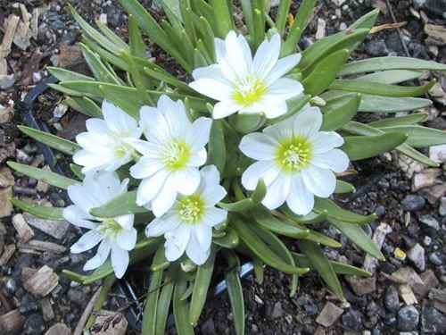 Lewisia nevadensis