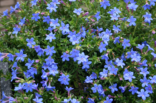 Lithodora diffusa 'Compact Blue'