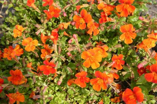 Mimulus cupreus 'Orange Glow'