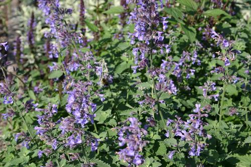 Nepeta racemosa 'Blue Wonder'