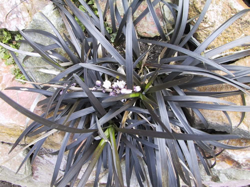 Ophiopogon planiscapis 'Niger'