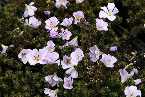 Parahebe densifolia