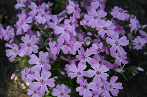 Phlox sub 'Purple Beauty'
