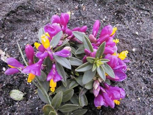 Polygala chamaebux 'Grandiflora'