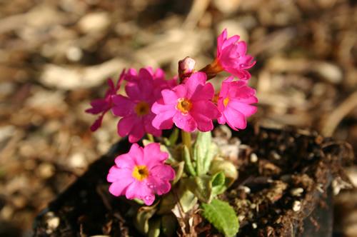 Primula rosea 'Grandiflora'