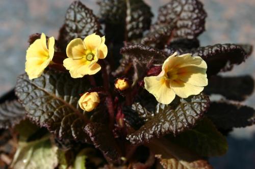 Primula vulgaris 'Claddagh'
