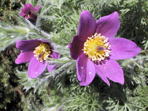 Pulsatilla vulgaris 'Violet Blue'