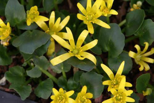 Ranunculus kochii