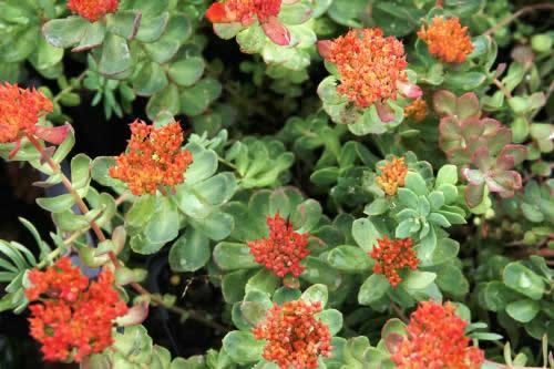 Rhodiola ishidae