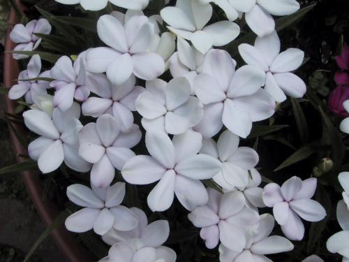 Rhodohypoxis hybr 'Alba'