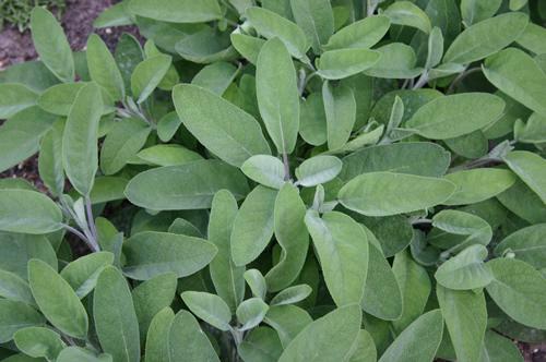 Salvia officin 'Berggarten'