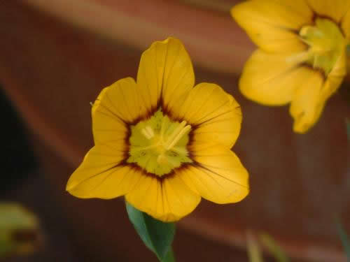 Sisyrinchium macrocarpum