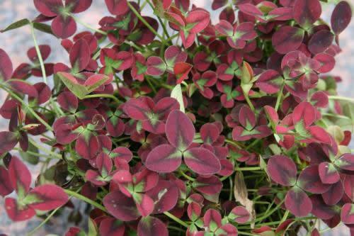 Trifolium repens 'Isabella'