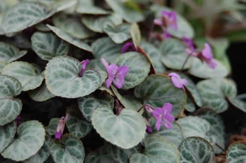 Viola grypoceras var exilis