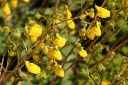 Calceolaria corymbosa