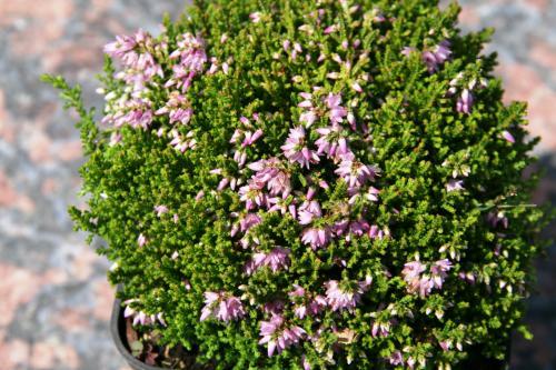 Calluna vulgaris 'Foxii Nana'