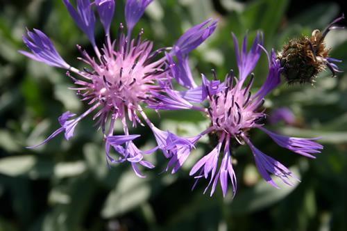Centaurea triumfetti