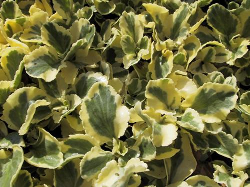 Chiastophyllum oppos 'Jim's Pride'
