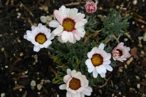 Chrysanthemum marwesii