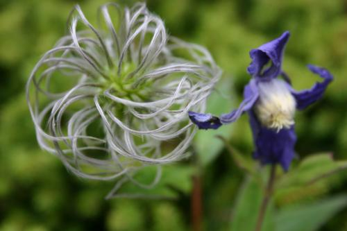 Clematis integrifolia 'Bue Ribbens'