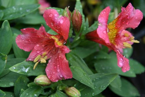 Alstroemeria 'Little Miss Rosalind'