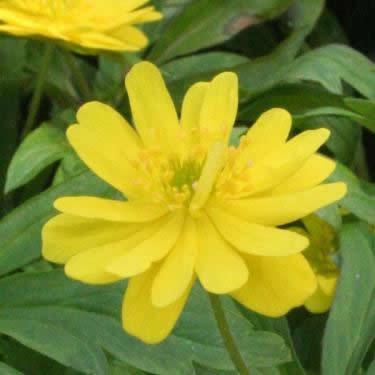 Anemone ranunculoides 'Pleniflora
