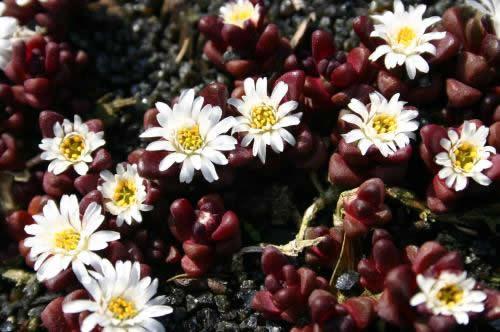 Delosperma alpinum 'Sani Pass'