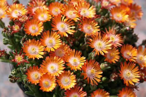 Delosperma 'Orange'