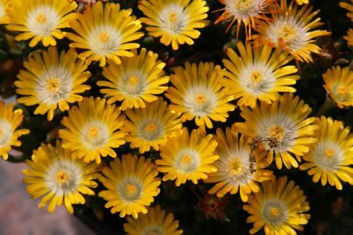 Delosperma 'Yellow'