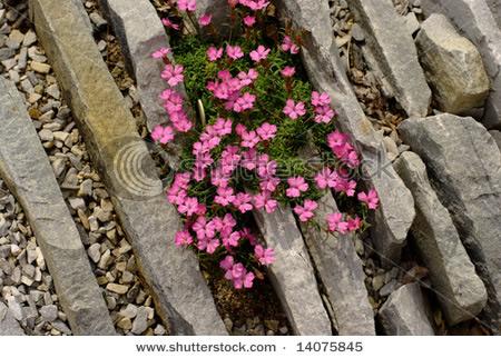 Dianthus webbianus alpinus