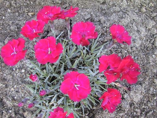 Dianthus grat 'Badenia'