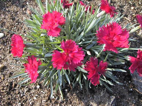 Dianthus grat 'Annette'