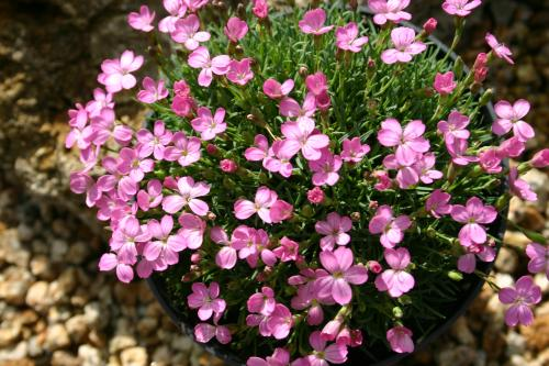Dianthus microlepis 'Degenii'