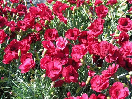Dianthus grat 'Lavastrom'