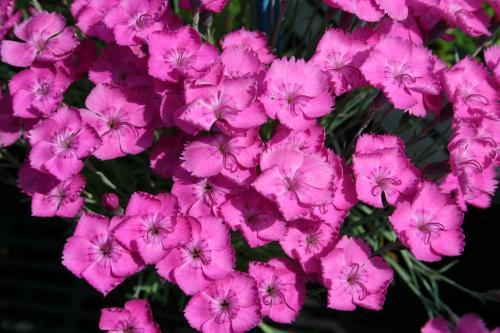 Dianthus 'Watfields Wish'