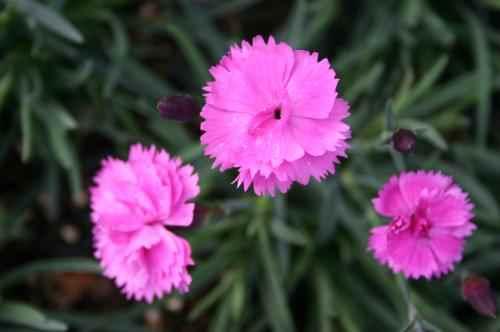 Dianthus 'Dinetta Pink'