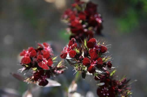 Dianthus barbatus 'Monksilver Black'