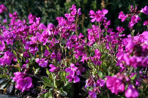 Arabis blepharoph 'Rose Delight'