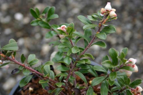 Arctostphylos uva-ursi