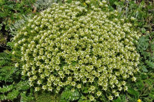 Arenaria kansuensis