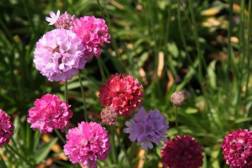 Armeria pseud 'Ballerina Red'
