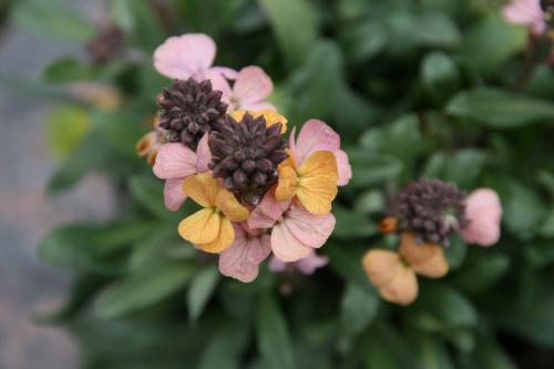 Erysimum linif 'Super Bowl Sunset'